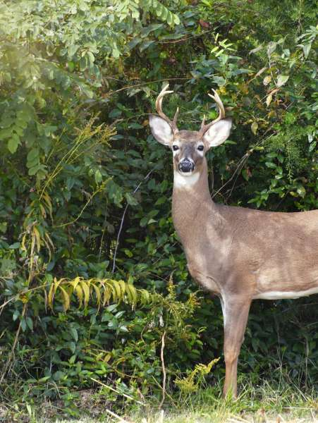 a-white-tail-deer-buck-standing-in-front-of-trees-and-bushes-looking-at-the-camera-copy-space_t20_kowX4E